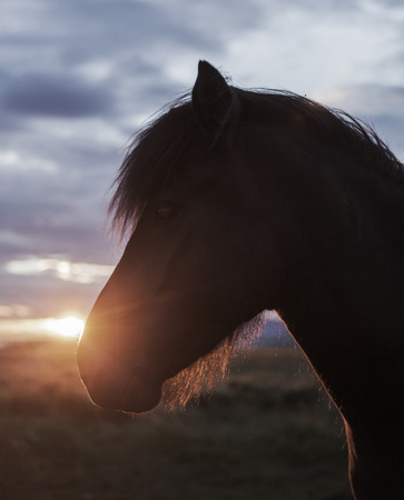 Iceland, Reykjavik, Close-up of horses head at sunset