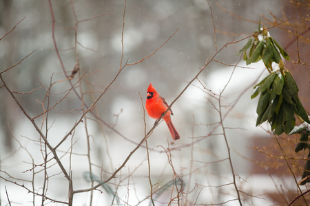 Cardinal bird in winter scenery