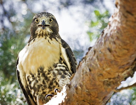 USA, Colorado, Denver, Red-tailed Hawk (Buteo jamaicensis) in City Park
