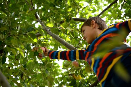 sweatshirt: Little boy (6-7) picking apples from tree
