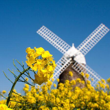 United Kingdom, England, West Sussex, Halnaker, Halnaker Windmill, Close-up shot of rapeseed flower with windmill in blurred background LANG_EVOIMAGES