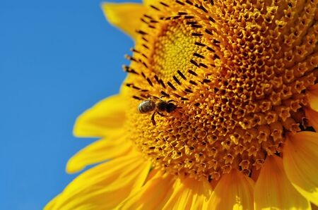 bee on flower: Close-up of bee pollination on sunflower LANG_EVOIMAGES