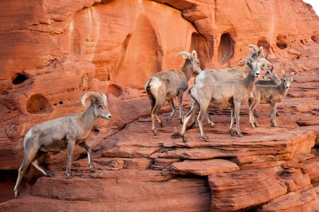 nevada: USA, Nevada, Valley of Fire State Park, Bighorn sheep on rock LANG_EVOIMAGES