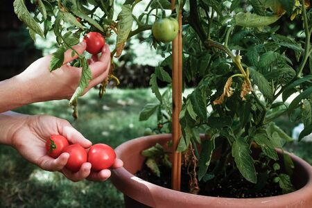 Close-up of woman picking tomatoes