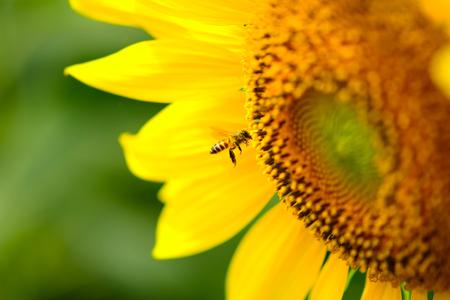 bee on flower: Bee on sunflower