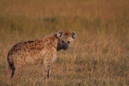 Kenya, Spotted hyena looking at camera