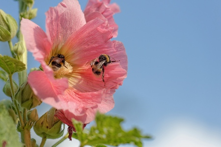 bee on flower: Hollyhock with bumblebees LANG_EVOIMAGES