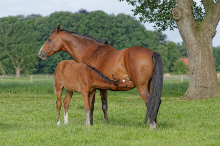 Germany, East Frisia, Mare with foal in pasture LANG_EVOIMAGES
