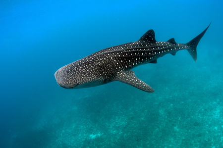 Philippines, Oslob, Dumaguete, Underwater view of whaleshark LANG_EVOIMAGES
