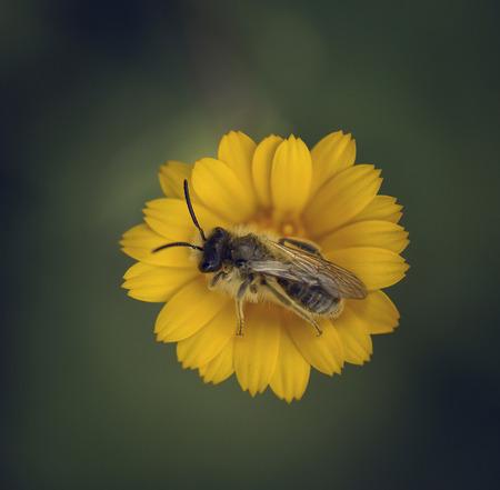 bee on flower: Spain, Andalucia, Granada, Loja, Worker bee pollinating yellow flower
