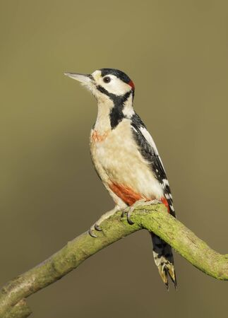 UK, Wild Great Spotted Woodpecker on branch