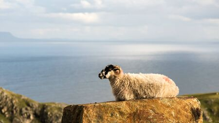 Ireland, County Donegal, Slieve League, Sheep resting on cliff against sea