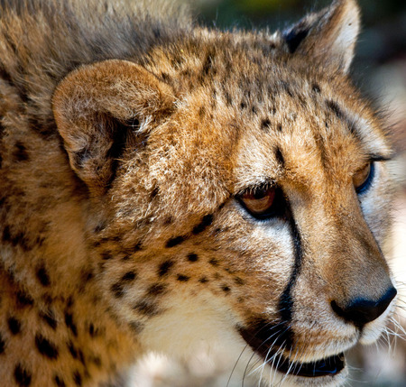 Portrait of a Cheetah, South Africa