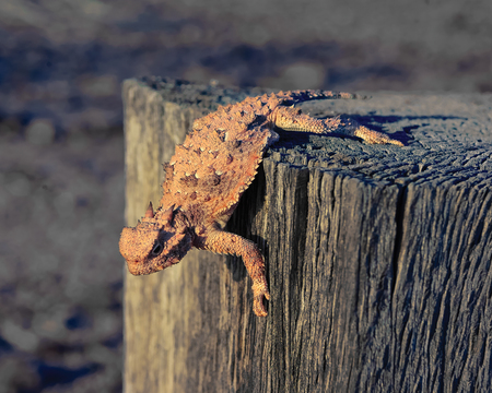 Horned Lizard crawling on a wooden post, Arizona, USA