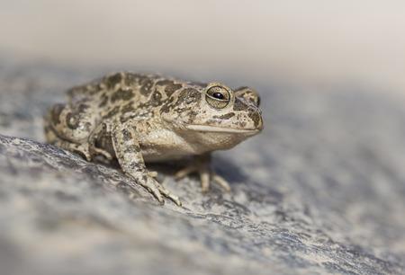 Arabian toad (Bufo arabicus), Sharjah, UAE