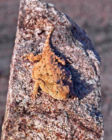 Horned Lizards Basking in sun, Arizona, USA LANG_EVOIMAGES