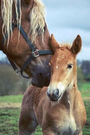 head protection: Portrait of a horse and her foal