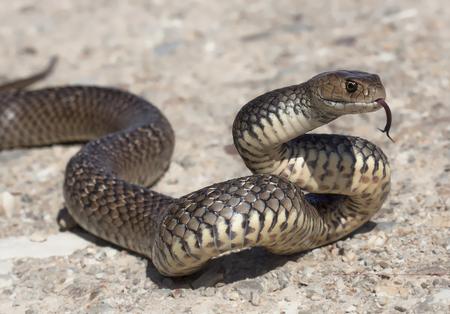 Eastern brown snake flicking tongue (Pseudonaja textilis)