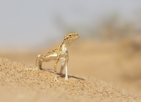 Arabian toad-headed agama (Phrynocephalus arabicus), Sharjah, UAE