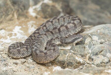 A wild Oman saw-scaled viper (Echis omanensis), Sharjah, UAE
