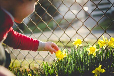 only boys: Boy picking daffodil
