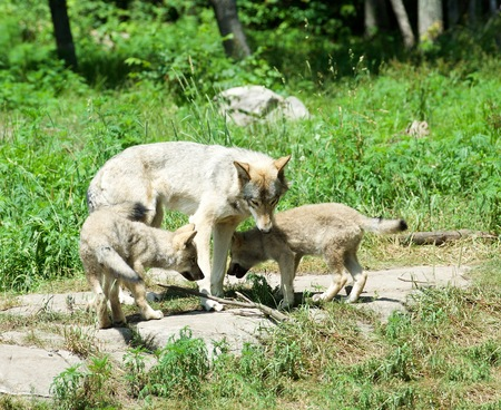Female wolf with two pups, Canada LANG_EVOIMAGES