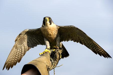 Handler holding a Peregrine Falcon