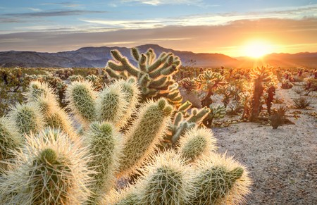 Teddy bear cholla cactus in Joshua tree national park at sunset, California USA LANG_EVOIMAGES