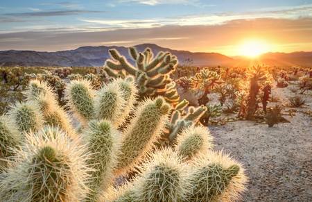 cholla: Teddy bear cholla cactus in Joshua tree national park at sunset, California USA LANG_EVOIMAGES