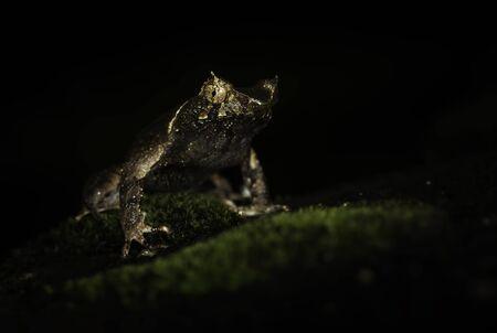 Short-horned Frog (Megophrys aceras) LANG_EVOIMAGES