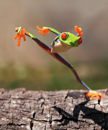 Red eye tree frog (agalychnis callidryas) standing on one leg, Riau Islands, Indonesia