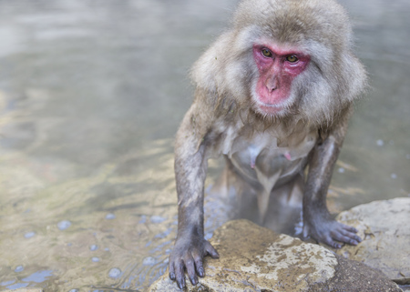 Snow monkey getting out of hot spring, Nagano, Honshu, Japan