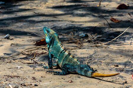 Iguana on the beach, Playa Hermosa, Costa Rica LANG_EVOIMAGES
