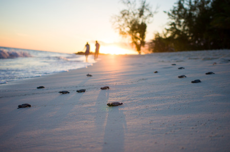 Hatching turtles on the beach at sunset, Barbados LANG_EVOIMAGES