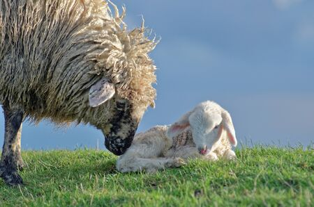 Ewe with lamb in field, Oldersum, Germany