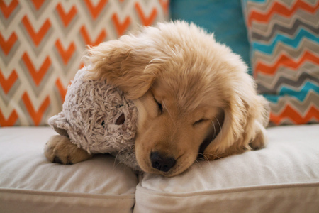 Golden retriever puppy dog lying on sofa with teddy bear LANG_EVOIMAGES