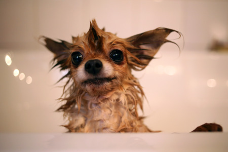 Wet chihuahua dog in bathtub