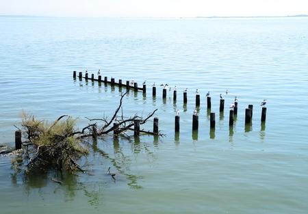 groynes: Seagulls perched on wooden, groynes, Marano lagoon, Italy