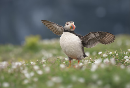 Puffin bird (fratercula arctica) with spread wings, Skomer, Pembrokeshire, Wales, UK