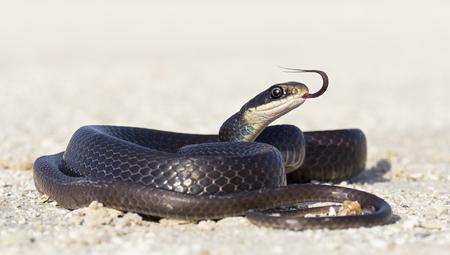 Black racer snake (Coluber constrictor) on road, Florida, America, USA LANG_EVOIMAGES