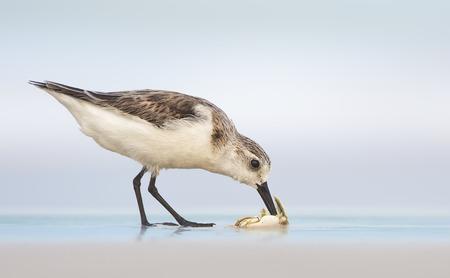 Sanderling bird (Calidris alba) on beach feeding, Florida, America, USA