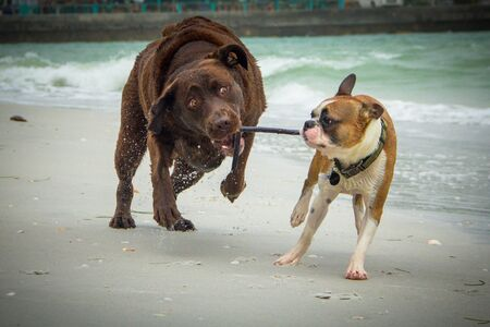 Two dogs running on beach with a stick