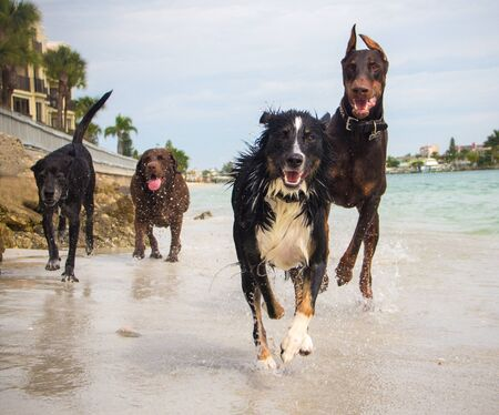 Four dogs running on beach, Florida, America, USA