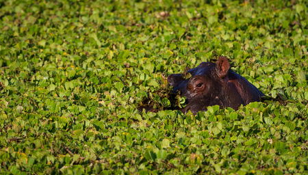 Hippo swimming in lake with water weeds, Kenya