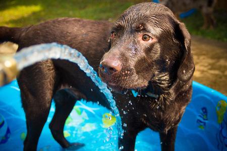Chocolate labrador retriever dog in paddling pool