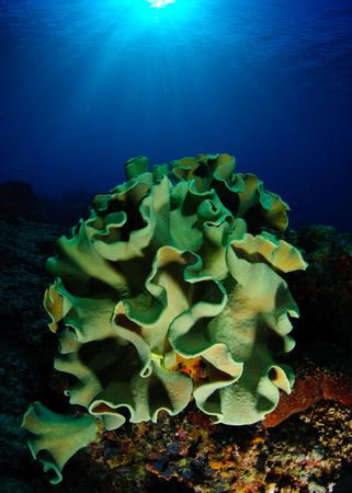 Coral, Apo Island, Dumaguete, Philippines