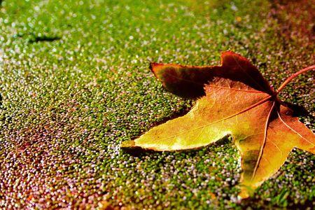 Autumn leaf floating on duckweed