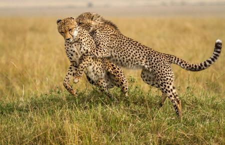 cheetah cub: Female cheetah playing with cub, Maasai Mara, Kenya