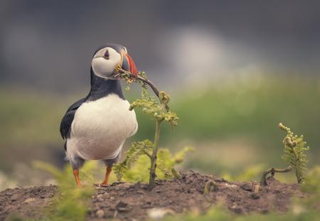 Atlantic Puffin (Fratercula arctica) holding a branch in its beak, Skomer Island, Wales, UK