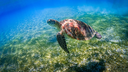 Turtle swimming over coral reef, Gili Islands near Gili Trawangan, Indonesia LANG_EVOIMAGES